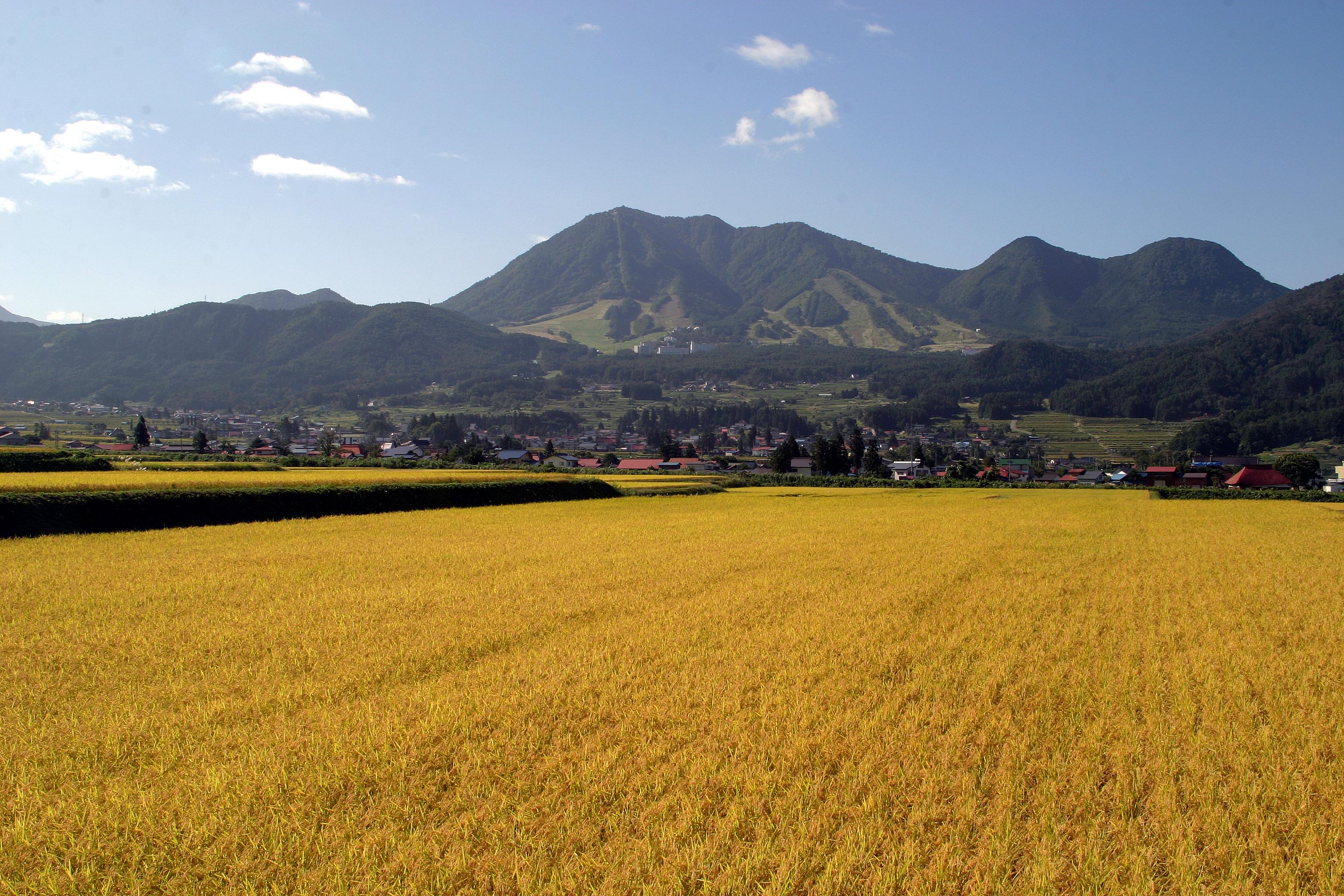 木島平村の稲田風景
