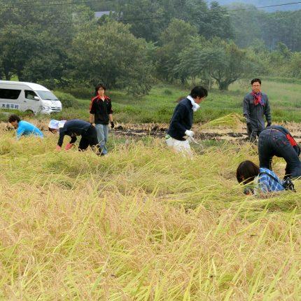 市民農園稲刈り(表紙)