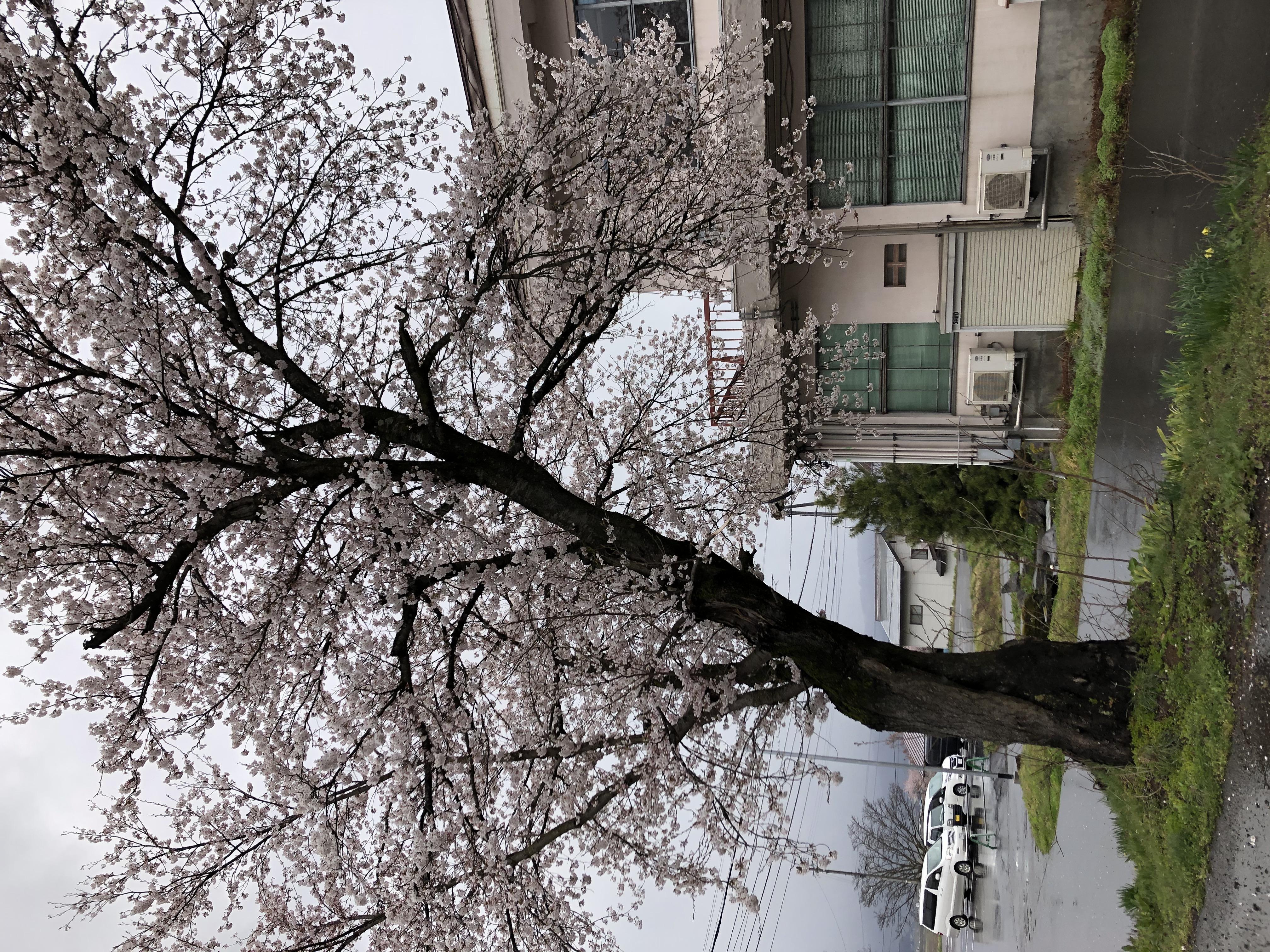20200414役場の桜2