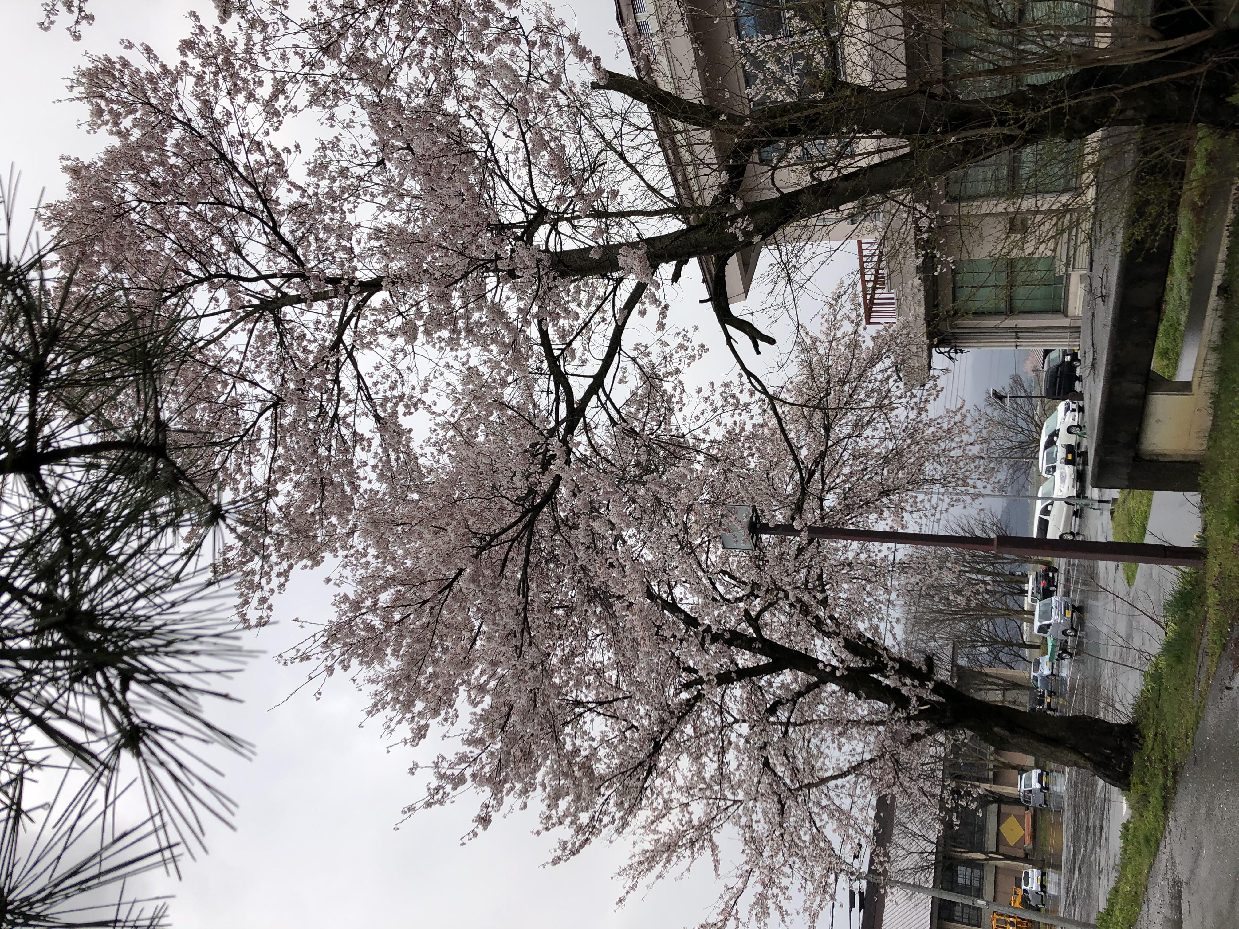 20200414役場の桜1