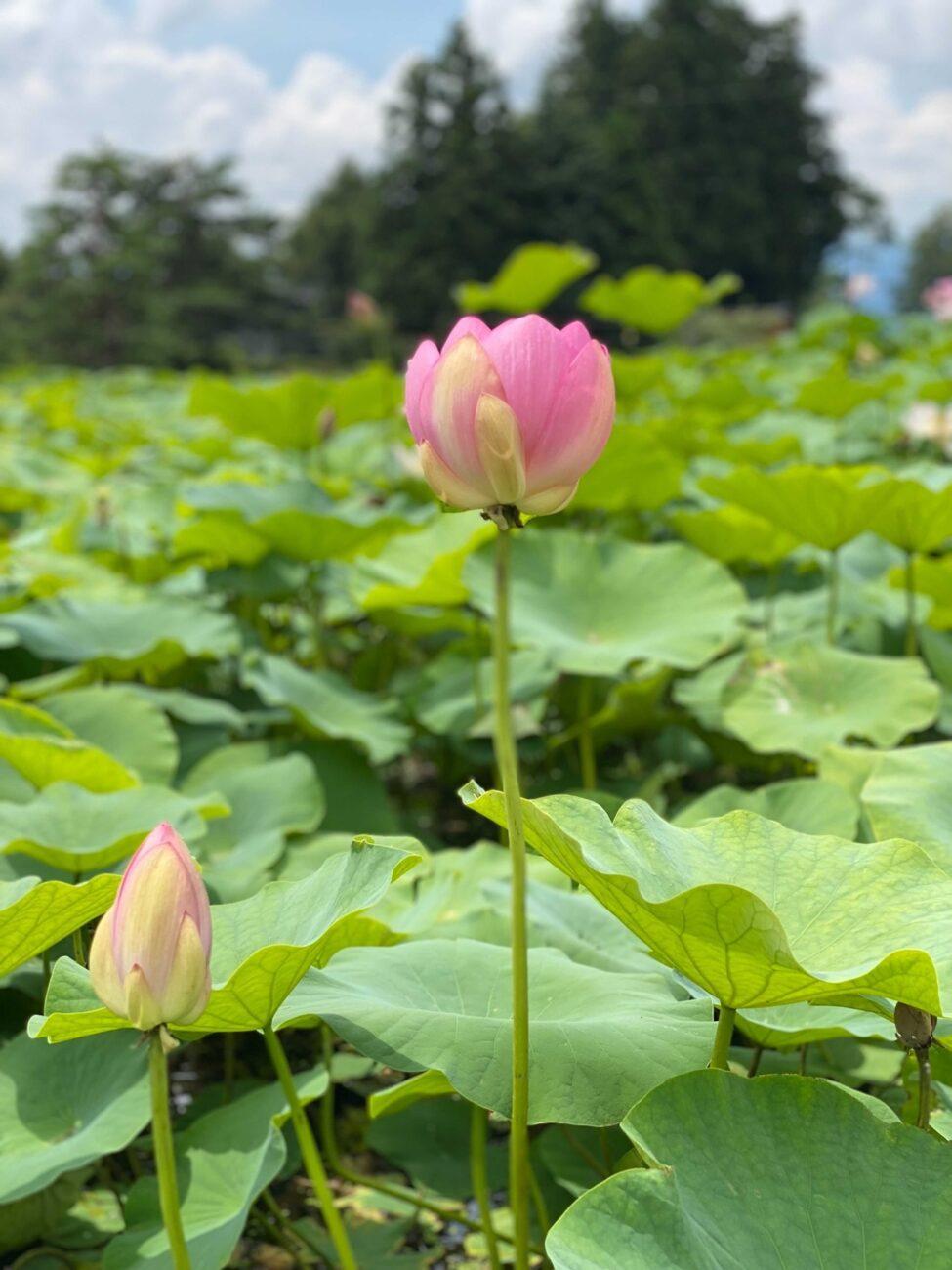 木島平村の稲泉寺のハスの花 2021年7月14日の様子 その3