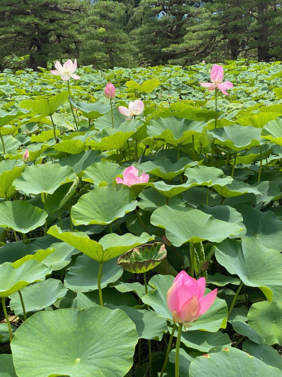 木島平村の稲泉寺のハスの花 2021年7月14日の様子 その2