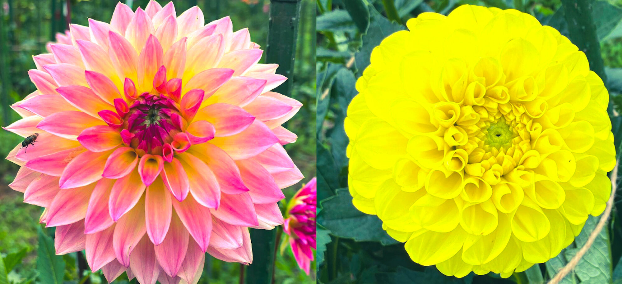 木島平村にあるやまびこの丘公園のダリアの花1