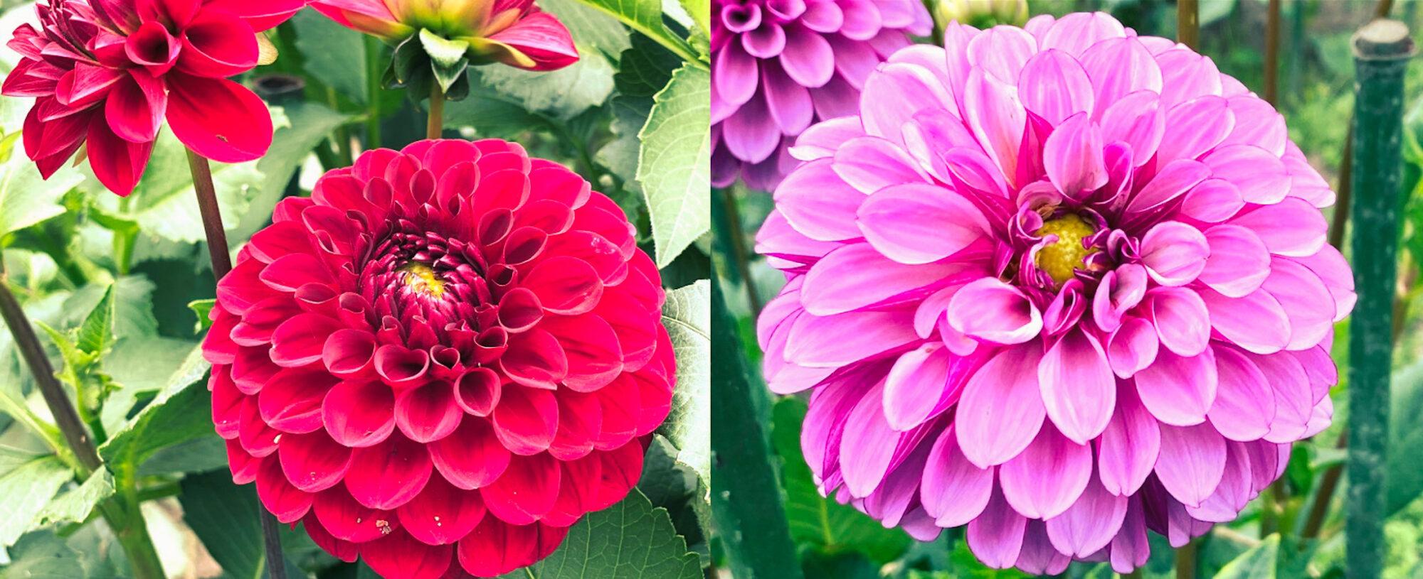 木島平村にあるやまびこの丘公園のダリアの花2