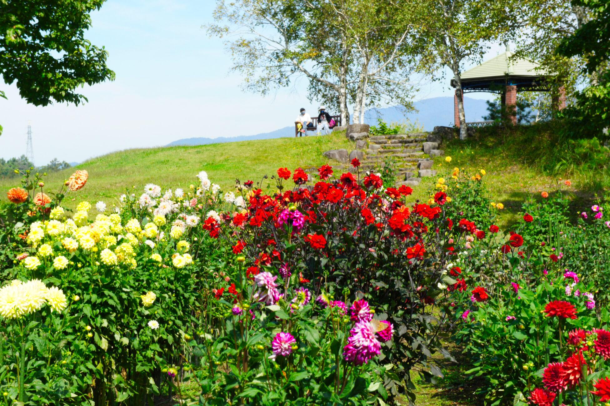 木島平村 やまびこの丘公園のダリア園