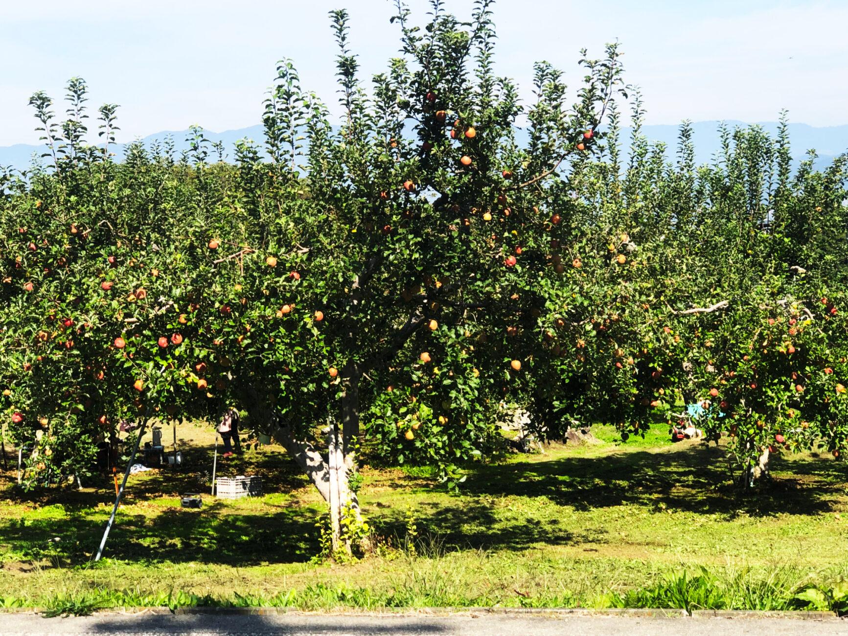 木島平にあるリンゴ畑